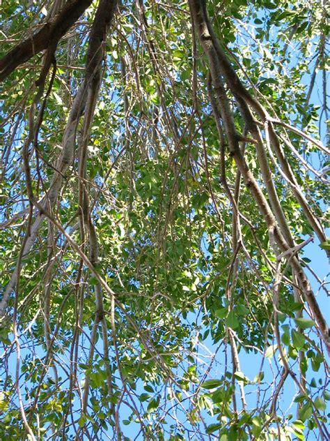 american elm ulmus americana american trees bryce zion