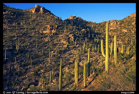 Tall Cactus On The Slopes Of Tucson