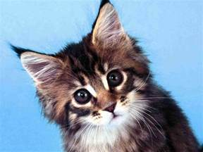 coon cats best coon cat wallpapers animals wiki