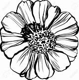 Zinnia Flower Drawing Zinnias Coloring Major Illustration Astere Vector Draw Getcolorings Getdrawings sketch template