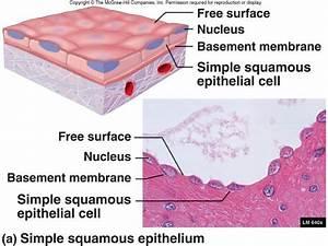 Simple Squamous Epitheium