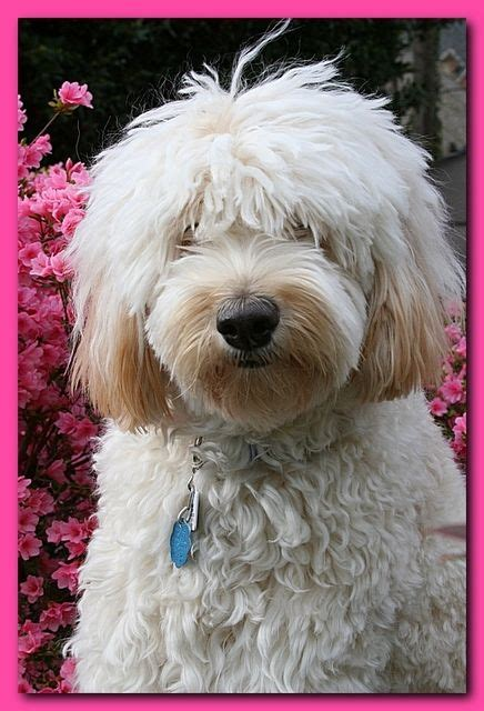 shedding puppy coat 1000 images about large dogs that don t shed on