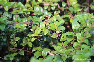 Wild Blueberry vs Huckleberry