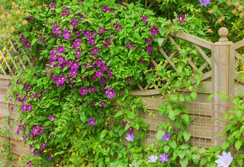 plants that grow up fences 10 plants for privacy and beauty garden lovers club