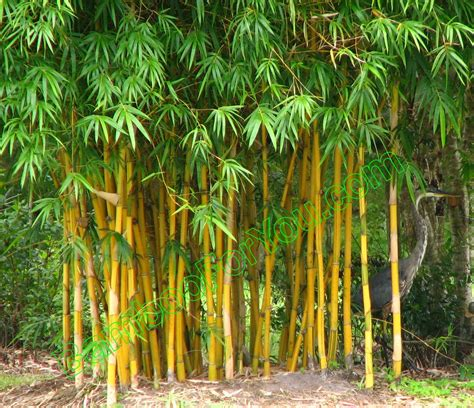 plants that go with bamboo bamboo tree bamboo valance photo