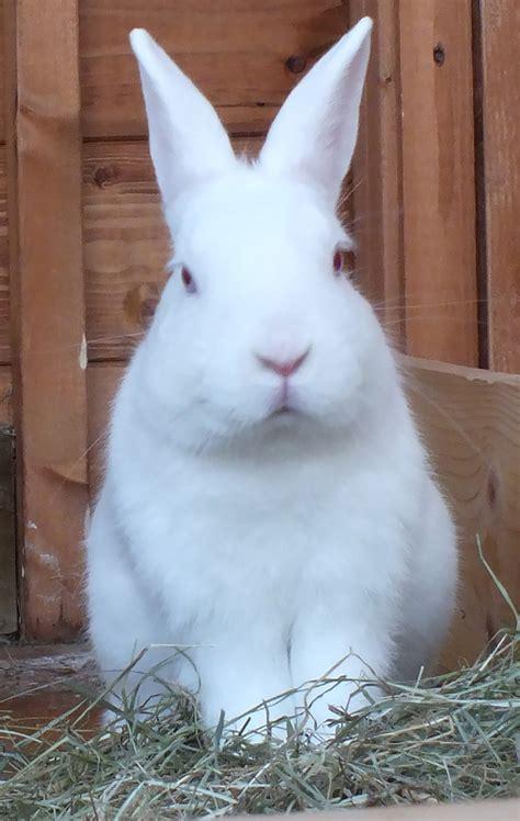 albino rabbit  search   loving home blue cross