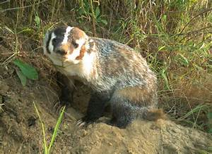 Ontario farmers have become badgers' unlikely friends: The ...