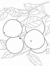 Coloring Grapefruit Pages Fruits Printable Recommended Colors sketch template