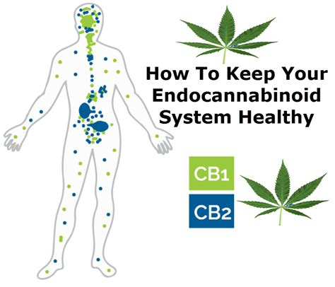 how to keep how to keep your endocannabinoid system healthy