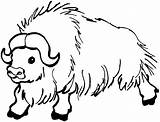 Buffalo Coloring Pages Animals Bison Water Yak sketch template