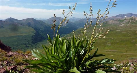 plants of mountains warming alters mountain plant s sex ratios science news
