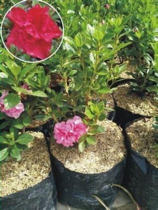 tanaman azalea merah tumpuk bibitbungacom