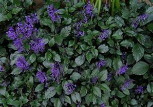 impatiens flowers mona lavender plectranthus part shade plant bloom