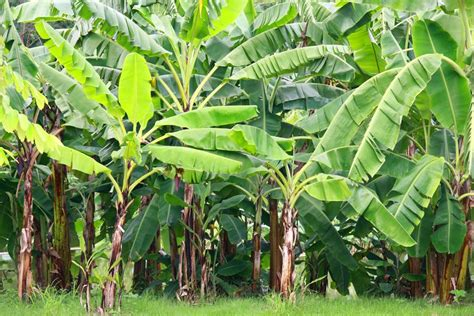 banana trees a guide to banana plant care you ll wish you had found sooner