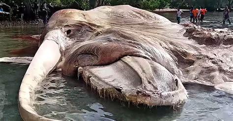 eine riesige meereskreatur wird  indonesion auf den