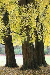 How Do Ginko Trees Reproduce
