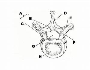 Anatomy Of Typical Vertebra