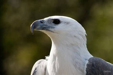 white bellied sea eagle ocean treasures memorial library