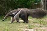 Giant anteater | Giant anteater, Dangerous animals ...