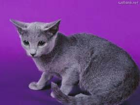 cat russian blue russian blue information health pictures