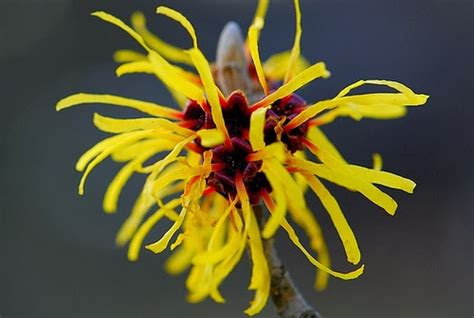 witch hazel flower the mane objective beautiful skin 5 all natural toners and astringents under 5