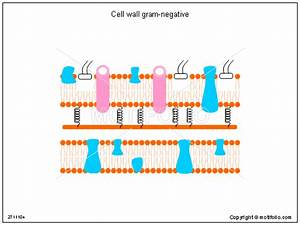 Cell Wall Gram