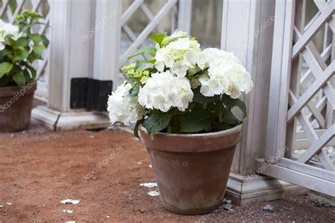 taille hortensia en pot hortensia blanc en pot 224 la cl 244 ture blanche photo 85757266