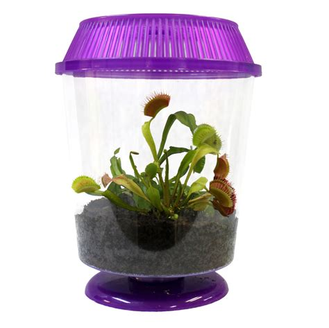 how to care for a venus fly trap live adult venus fly trap butterfly art and nature gifts largest gift selection online