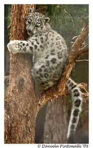 baby snow leopard in tree ii by tvd photography on deviantart