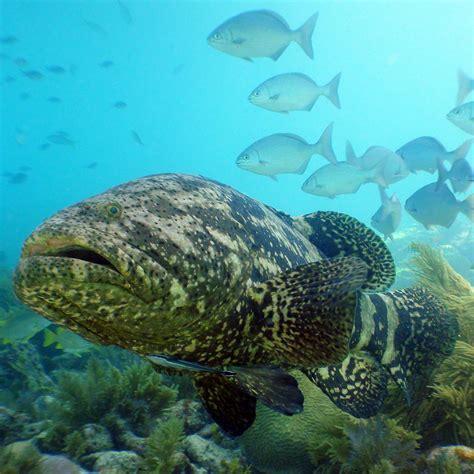 grouper goliath atlantic ocean habitat marine distribution oceana diet coral fishes reefs ecosystem