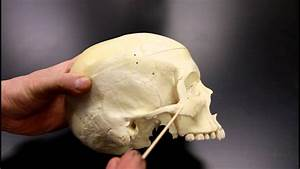 Skeletal System Anatomy  Lateral Aspect Of The Human Skull