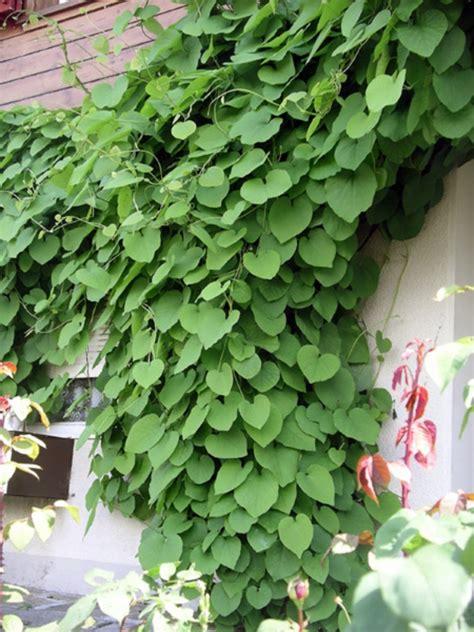 Kletterpflanzen Immergrün Winterhart by Pflanzen Immergr 252 N Winterhart Sichtschutz Wohn Design