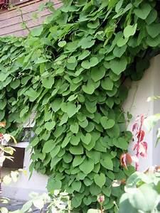Blühende Kletterpflanzen Winterhart Mehrjährig Schnellwachsend : pflanzen immergr n winterhart sichtschutz wohn design ~ Eleganceandgraceweddings.com Haus und Dekorationen