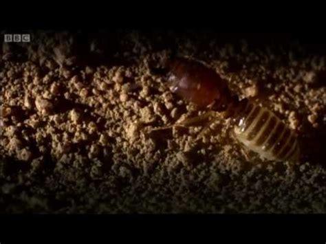 defending  ant nest  intruders ant attack bbc