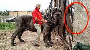 Worlds Largest Dog Hercules | www.pixshark.com - Images ...