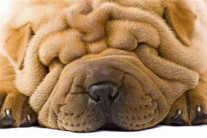dogs with wrinkled faces