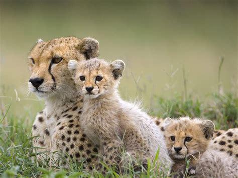 animals baby animals cheetahs wallpapers hd desktop