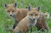 Fox pups learning how to live   News, Sports, Jobs - Times ...