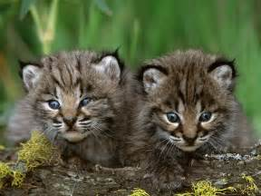 lynx cats lynx cat images bobcat kittens hd wallpaper and background