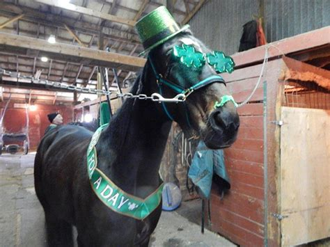 decorated st patricks day horses standardbred canada