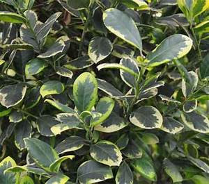 Ilex Golden King : ilex golden king old hall nurseries ~ Frokenaadalensverden.com Haus und Dekorationen