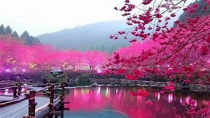 Cherry Blossom Tree Desktop Wallpapers Wallpaperaccess Backgrounds