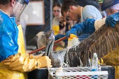 photos of pelicans pelecanidae