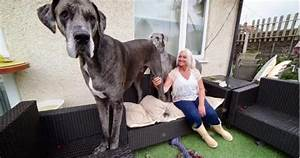 Freddy the Great Dane Is 7 Feet Tall and the Biggest Dog ...