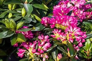 Wann Blüht Der Rhododendron : rhododendron umpflanzen standort tipps anleitung plantura ~ Eleganceandgraceweddings.com Haus und Dekorationen