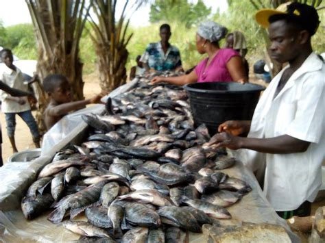 tilapia farming secrets revealed agriculture nigeria