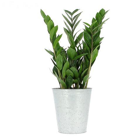 livraison zamioculcas plante verte foliflora