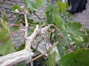 Mis plantas: Mi planta de uva