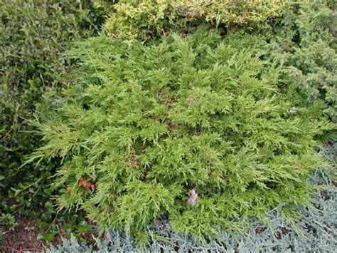 juniperus sabina calgary carpet north american rock