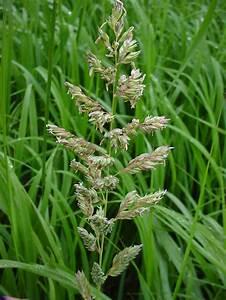 Phalaris arundinacea (reed canary grass): Go Botany